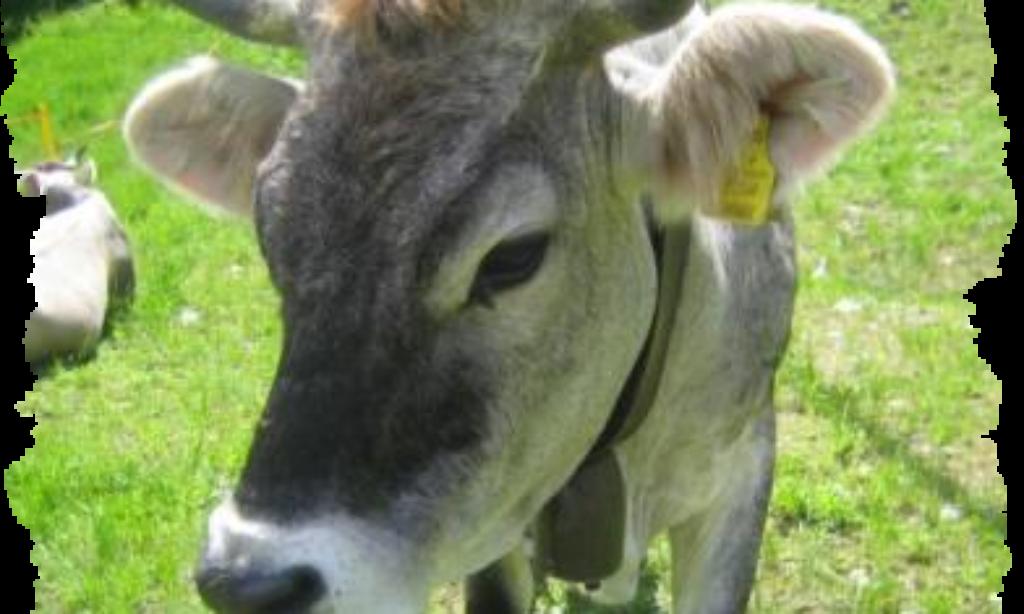 Dal Cilento un'idea per aiutare l'ultima mucca di Ventotene