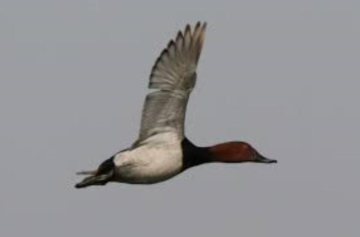 Il Moriglione è salvo in Campania, accolta la richiesta degli ornitologi