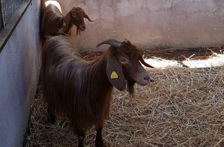 Cannalonga: nel verde del borgo mostra della capra domestica cilentana