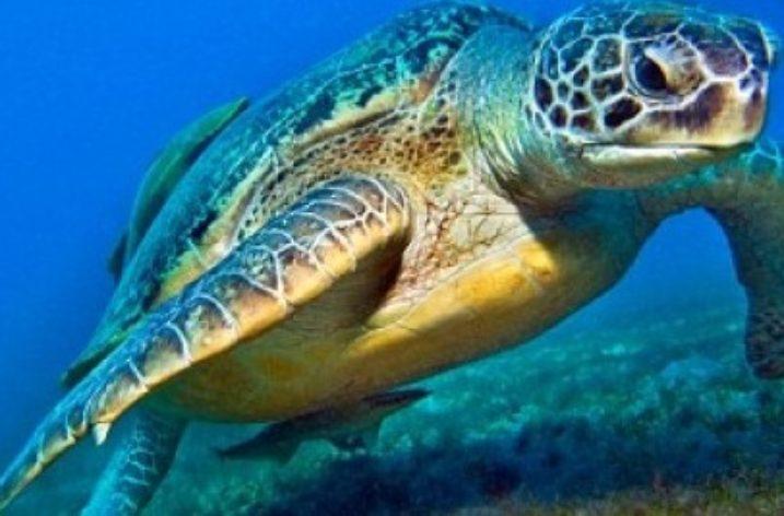 Acqua Marina, la tartaruga Caretta caretta,  sceglie il Cilento per le sue uova