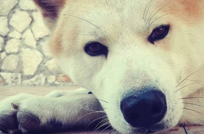 SOS : smarrito cane di razza AKITA a Matierno