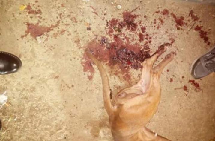 Orrore a Castellammare di Stabia, Pitbull accoltellato e impiccato.