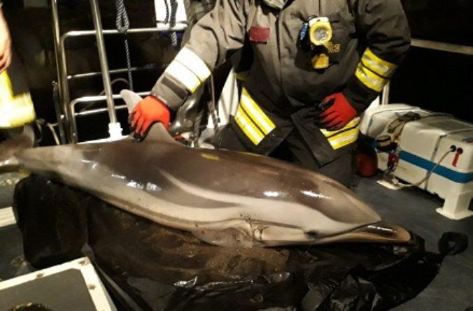 Salerno: delfino spiaggiato sul Lungomare Colombo