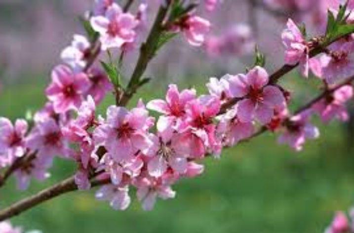 """""""Fiori rosa, fiori di pesco"""""""