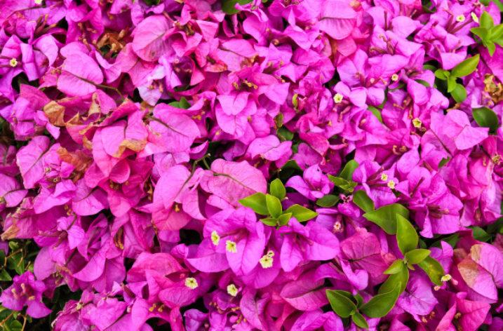 Quando l'estate esplode ha il colore della Bouganville